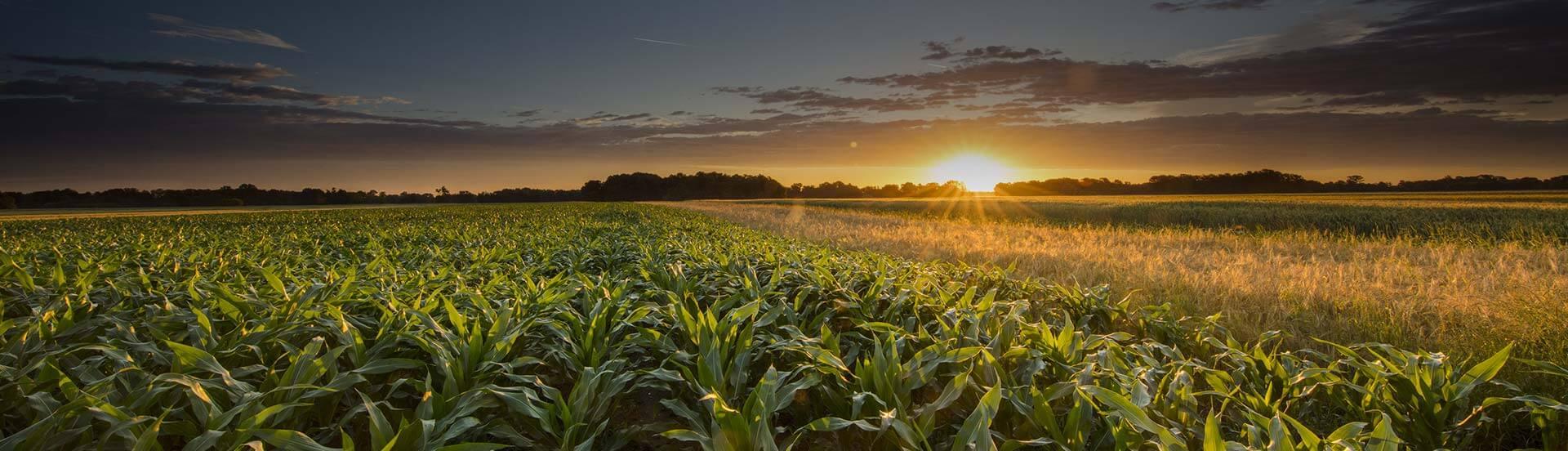 Materiał siewny kukurydza